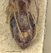http://mczbase.mcz.harvard.edu/specimen_images/entomology/large/MCZ-ENT00022795_Camponotus_atlantis_var_planitiae_hefa.jpg