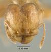 Media of type image, MCZ:Ent:22823 Identified as Pheidole umbonata type status Syntype of Pheidole umbonata zimmermani. . Aspect: head frontal view