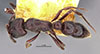 http://mczbase.mcz.harvard.edu/specimen_images/entomology/large/MCZ-ENT00022824_Pachycondyla_perroti_admista_had.jpg