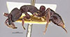 http://mczbase.mcz.harvard.edu/specimen_images/entomology/large/MCZ-ENT00022824_Pachycondyla_perroti_admista_hal.jpg