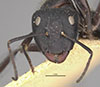 http://mczbase.mcz.harvard.edu/specimen_images/entomology/large/MCZ-ENT00022839_Camponotus_radovae_hefa.jpg