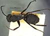 http://mczbase.mcz.harvard.edu/specimen_images/entomology/large/MCZ-ENT00022840_Camponotus_radiatus_had.jpg