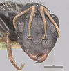 http://mczbase.mcz.harvard.edu/specimen_images/entomology/large/MCZ-ENT00022841_Camponotus_grandidieri_hefa.jpg