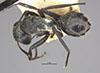 http://mczbase.mcz.harvard.edu/specimen_images/entomology/large/MCZ-ENT00022842_Camponotus_foraminosus_delagoensis_var_sorpta_had.jpg