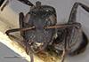 http://mczbase.mcz.harvard.edu/specimen_images/entomology/large/MCZ-ENT00022842_Camponotus_foraminosus_delagoensis_var_sorpta_hef.jpg