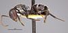 http://mczbase.mcz.harvard.edu/specimen_images/entomology/large/MCZ-ENT00022843_Camponotus_olivieri_st_freyeri_hal.jpg