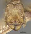 Media of type image, MCZ:Ent:22884 Identified as Pheidole maculifrons type status Holotype of Pheidole maculifrons. . Aspect: head frontal