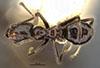 http://mczbase.mcz.harvard.edu/specimen_images/entomology/large/MCZ-ENT00022932_Azteca_ulei_var_gagatina_had.jpg