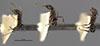 http://mczbase.mcz.harvard.edu/specimen_images/entomology/large/MCZ-ENT00022932_Azteca_ulei_var_gagatina_hala.jpg