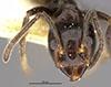 http://mczbase.mcz.harvard.edu/specimen_images/entomology/large/MCZ-ENT00022932_Azteca_ulei_var_gagatina_hef.jpg