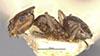 http://mczbase.mcz.harvard.edu/specimen_images/entomology/large/MCZ-ENT00022940_Brachymyrmex_patagonicus_var_atratula_hal.jpg