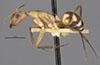 http://mczbase.mcz.harvard.edu/specimen_images/entomology/large/MCZ-ENT00022942_Camponotus_melanoticus_var_colorata_hal.jpg