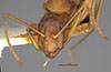 http://mczbase.mcz.harvard.edu/specimen_images/entomology/large/MCZ-ENT00022944_Camponotus_maculatus_dichrous_var_massiliensis_hef.jpg