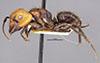 http://mczbase.mcz.harvard.edu/specimen_images/entomology/large/MCZ-ENT00022945_Camponotus_bugnioni_hal.jpg