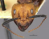 http://mczbase.mcz.harvard.edu/specimen_images/entomology/large/MCZ-ENT00022945_Camponotus_bugnioni_hef.jpg