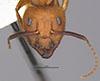 http://mczbase.mcz.harvard.edu/specimen_images/entomology/large/MCZ-ENT00022946_Camponotus_hannani_hefa.jpg