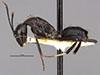 http://mczbase.mcz.harvard.edu/specimen_images/entomology/large/MCZ-ENT00022948_Camponotus_gambeyi_hala.jpg