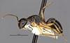 http://mczbase.mcz.harvard.edu/specimen_images/entomology/large/MCZ-ENT00022949_Camponotus_lownei_hal.jpg