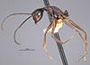 http://mczbase.mcz.harvard.edu/specimen_images/entomology/large/MCZ-ENT00022956_Dendromyrmex_madeirensis_hala.jpg