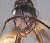 http://mczbase.mcz.harvard.edu/specimen_images/entomology/large/MCZ-ENT00022956_Dendromyrmex_madeirensis_hefa.jpg