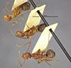 http://mczbase.mcz.harvard.edu/specimen_images/entomology/large/MCZ-ENT00022957_Dendromyrmex_fabricii_var_rufescens_hada.jpg