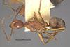 http://mczbase.mcz.harvard.edu/specimen_images/entomology/large/MCZ-ENT00022957_Dendromyrmex_fabricii_var_rufescens_hal.jpg