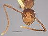 http://mczbase.mcz.harvard.edu/specimen_images/entomology/large/MCZ-ENT00022957_Dendromyrmex_fabricii_var_rufescens_hefa.jpg