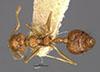 http://mczbase.mcz.harvard.edu/specimen_images/entomology/large/MCZ-ENT00022974_Crematogaster_limata_var_boliviana_had.jpg