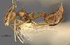 http://mczbase.mcz.harvard.edu/specimen_images/entomology/large/MCZ-ENT00022974_Crematogaster_limata_var_boliviana_hal.jpg