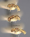 http://mczbase.mcz.harvard.edu/specimen_images/entomology/large/MCZ-ENT00023066_Rhopalomastix_rothneyi_johorensis_hala.jpg