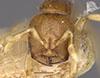 http://mczbase.mcz.harvard.edu/specimen_images/entomology/large/MCZ-ENT00023066_Rhopalomastix_rothneyi_johorensis_hef.jpg