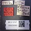 http://mczbase.mcz.harvard.edu/specimen_images/entomology/large/MCZ-ENT00023093_Clivina_grata_lbs.jpg