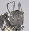 http://mczbase.mcz.harvard.edu/specimen_images/entomology/large/MCZ-ENT00023243_Camponotus_sericeiventris_rex_var_semirex_hef.jpg