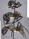 http://mczbase.mcz.harvard.edu/specimen_images/entomology/large/MCZ-ENT00023244_Camponotus_sericeiventris_var_zacapensis_hala.jpg