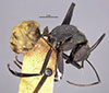 http://mczbase.mcz.harvard.edu/specimen_images/entomology/large/MCZ-ENT00023245_Camponotus_sericeiventris_rex_var_quiriguensis_hal.jpg