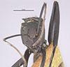 http://mczbase.mcz.harvard.edu/specimen_images/entomology/large/MCZ-ENT00023245_Camponotus_sericeiventris_rex_var_quiriguensis_hef.jpg