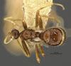 http://mczbase.mcz.harvard.edu/specimen_images/entomology/large/MCZ-ENT00023312_Anergatides_kohli_had.jpg