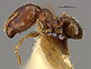 Media of type image, MCZ:Ent:23341 Identified as Pheidole miseranda type status Holotype of Pheidole miseranda. . Aspect: habitus lateral view