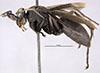 http://mczbase.mcz.harvard.edu/specimen_images/entomology/large/MCZ-ENT00023476_Anoplius_modestus_hal.jpg
