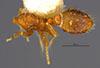 http://mczbase.mcz.harvard.edu/specimen_images/entomology/large/MCZ-ENT00023664_Strumigenys_louisianae_laticephala_had.jpg