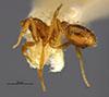 http://mczbase.mcz.harvard.edu/specimen_images/entomology/large/MCZ-ENT00023664_Strumigenys_louisianae_laticephala_hal.jpg