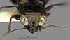http://mczbase.mcz.harvard.edu/specimen_images/entomology/large/MCZ-ENT00023847_Notiophilus_simulater_hef.jpg