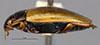 http://mczbase.mcz.harvard.edu/specimen_images/entomology/large/MCZ-ENT00023968_Agabus_ancillus_hal.jpg