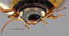 http://mczbase.mcz.harvard.edu/specimen_images/entomology/large/MCZ-ENT00023968_Agabus_ancillus_hef.jpg