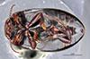 http://mczbase.mcz.harvard.edu/specimen_images/entomology/large/MCZ-ENT00023971_Agabus_gelidus_hav.jpg