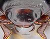 http://mczbase.mcz.harvard.edu/specimen_images/entomology/large/MCZ-ENT00023971_Agabus_gelidus_hef.jpg
