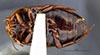 http://mczbase.mcz.harvard.edu/specimen_images/entomology/large/MCZ-ENT00023974_Agabus_oblongulus_hav.jpg