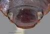http://mczbase.mcz.harvard.edu/specimen_images/entomology/large/MCZ-ENT00023975_Agabus_ontarionis_hef.jpg