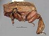 http://mczbase.mcz.harvard.edu/specimen_images/entomology/large/MCZ-ENT00024129_Hetaerius_strenuus_hal.jpg
