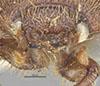 http://mczbase.mcz.harvard.edu/specimen_images/entomology/large/MCZ-ENT00024779_Ochodaeus_nimius_hef.jpg